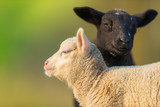Portrait of cute different black and white young lambs on pasture - 201076225