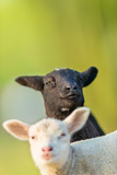 Portrait of cute different black and white young lambs on pasture - 201076241