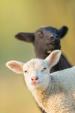 Portrait of cute different black and white young lambs on pasture - 201076255