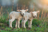 Cute young lambs on pasture, early morning in spring. - 201076416