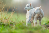 Cute young lambs on pasture, early morning in spring. - 201076437