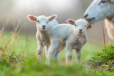 Cute young lambs with their mother on pasture - 201076451
