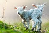 Cute young lambs on pasture, early morning in spring. - 201076475