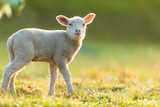 Cute young lamb on pasture, early morning in spring. - 201076493