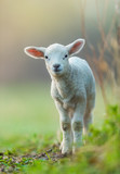Cute young lamb on pasture, early morning in spring. - 201076622