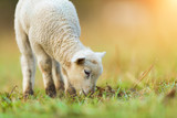 Cute young lamb on pasture, early morning in spring. - 201076629