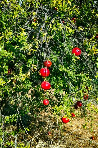 Pomegranate tree with ripe fruits.