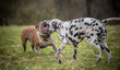 Bulldog and Dalmatian dog play