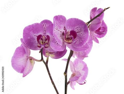 Fototapeta pink orchid close up