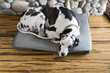 Overhead view of sleeping great dane dog on bed on hardwood floors