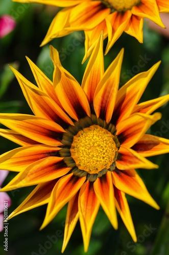 Gazania Flower. Plant originating from South Africa. - 201110621