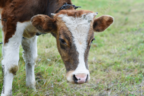 Young bull in the pasture, farming