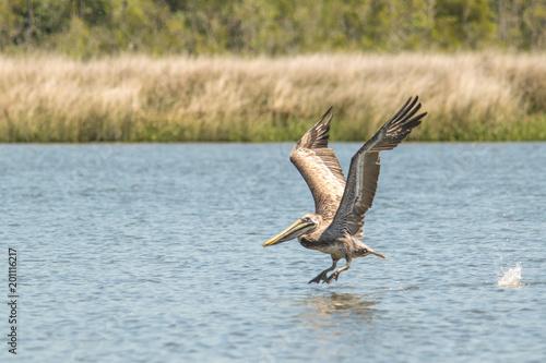 Foto Murales Pelican Flying 2