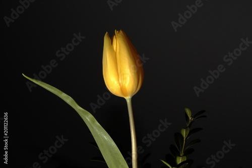 tulipan - 201122636