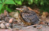Young baby bird sittin on the ground - 201128289