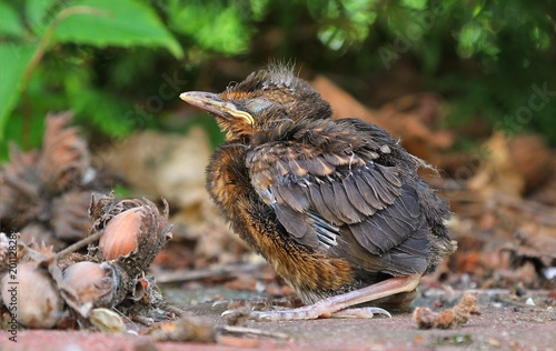 Young baby bird sittin on the ground