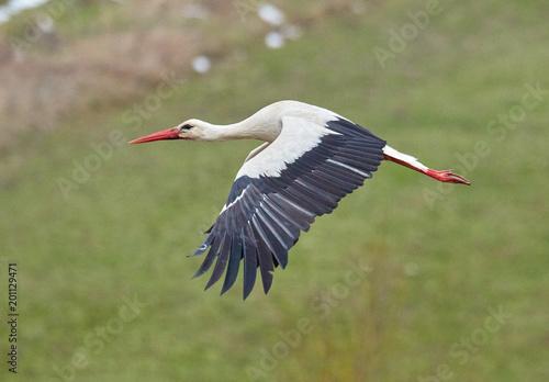 White stork taking off