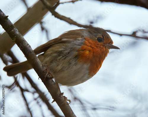 Foto Murales European robin perched on a branch