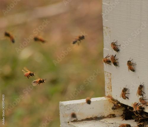 Foto Murales Bees