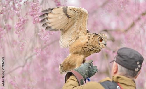 桜の森・くつろぐフクロウ