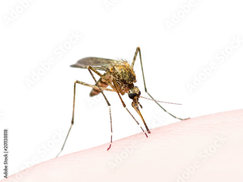 Yellow Fever, Malaria or Zika Virus Infected Mosquito Insect Bite Isolated on White - 201138818