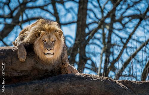 Curious Lion On Rock