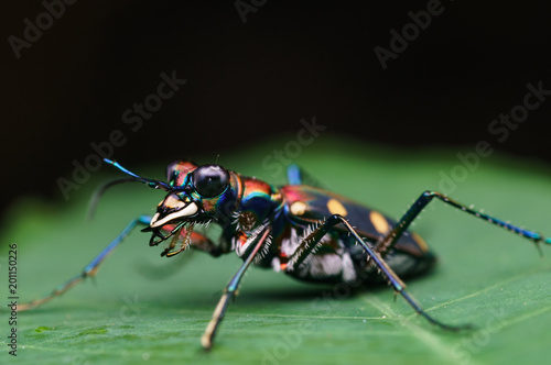 closeup shot of tiger beetle in nature