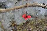 Viburnum branch with red berries over melting snow - early spring - 201154471