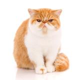 Exotic shorthair cat, , sitting - 201156082