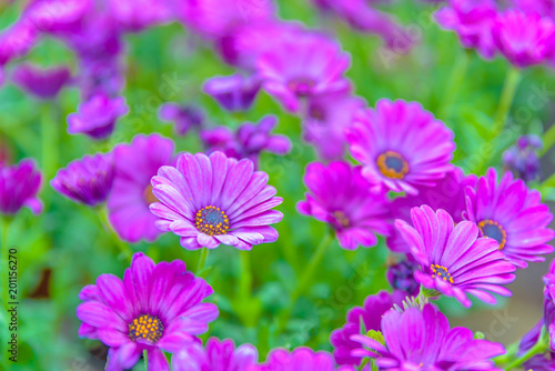 Leinwanddruck Bild Top view of pink and violet flowers