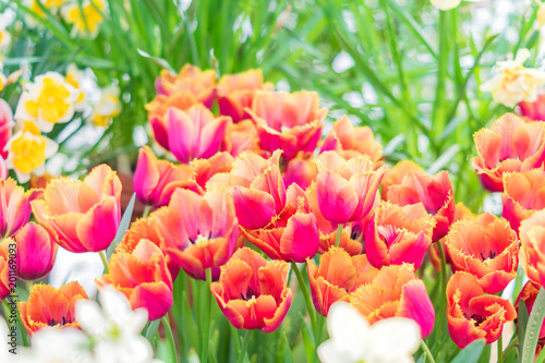 colorful blooming tulips background