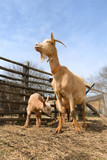 Brown goatwith lambs
