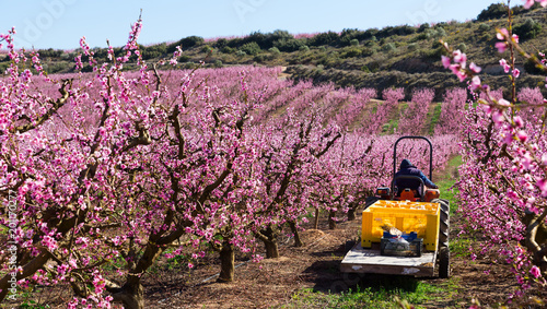 Foto Murales Blossoming of  peach  trees with worker at agrimotor  of Europe