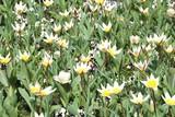 Fototapeta Tulips - fragment ogrodu z kwitnącymi białymi tulipanami © agnieszkalll