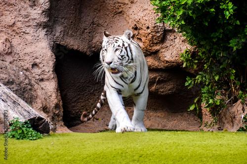 Zdjęcie: Rzadki biały pasiasty dziki tygrys