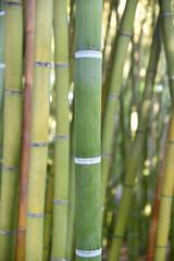 Bambous verts au jardin