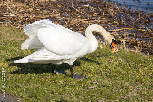 White swan on the river bank eats a loaf
