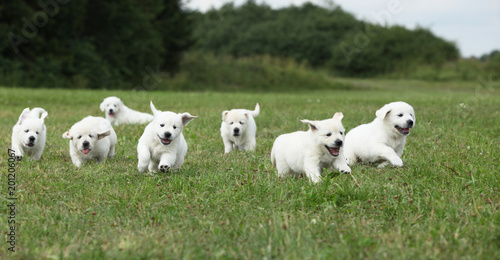 Fototapeta Beautiful group of golden retriever puppies running