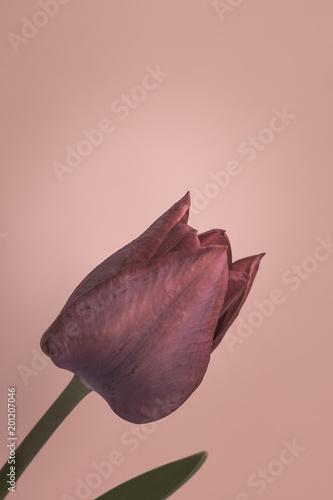 Purple tulip on pastel background - 201207046