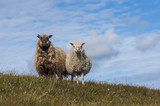 Two sheep standing on a hill in Faroe Islands - 201213865