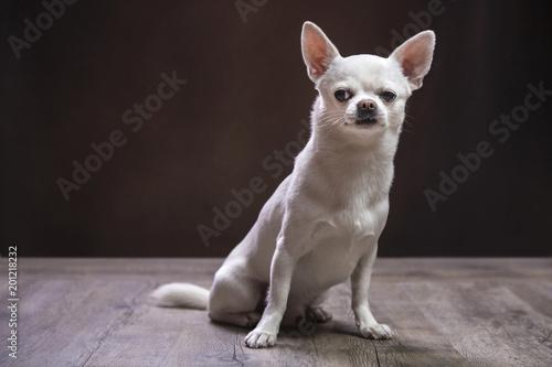 Chiwawa dal pelo bianco seduto su pavimento in legno