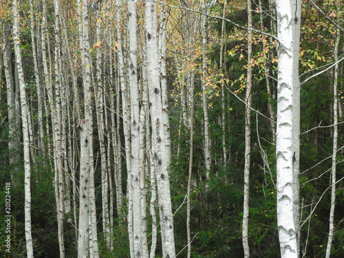 Trunks of birches - 201224418