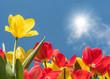 Leinwanddruck Bild - Rote und gelbe Tulpen leuchten in voller Farbenpracht in der Mittagssonne unter blauem Himmel - endlich Frühling!