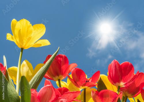 Leinwanddruck Bild Rote und gelbe Tulpen leuchten in voller Farbenpracht in der Mittagssonne unter blauem Himmel - endlich Frühling!