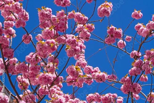 Fotobehang Crimson Rosa blühende Blütenkirschen in der Bonner Altstadt