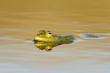 Green Marsh Frog (Pelophylax ridibundus) on a beautiful light