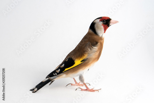 European Goldfinch, carduelis carduelis, standing, isolated on white.