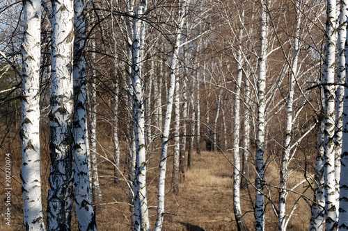 Aluminium Berkenbos Beautiful white birch in early spring in birch grove on a sunny day