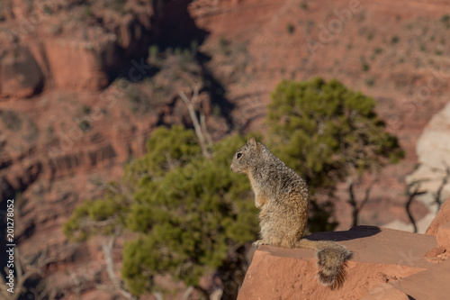 Squirrel sitting on stone ledge overlooking the Grand Canyon