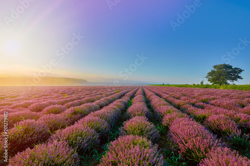 Foto op Canvas Natuur Lavender Field in the Morning